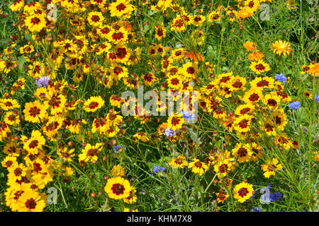 A golden naturaly planted flower meadow with Coreopsis , Cornflowers and marigolds - Stock Photo
