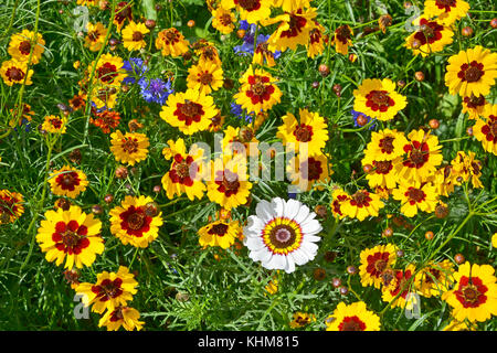 A golden naturaly planted flower meadow with Coreopsis , Cornflowers - Stock Photo
