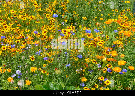 A golden and colourful naturaly planted flower meadow with Coreopsis , Cornflowers and marigolds - Stock Photo