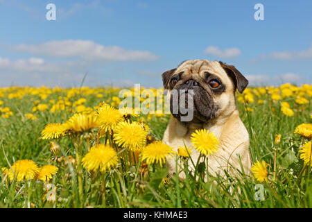 Pug lying in meadow with dandelions, Germany, Europe - Stock Photo