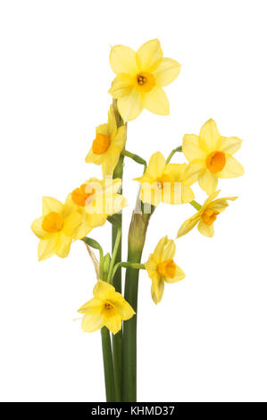 Bunch of multi headed narcissus flowers, Grand Soliel d'or, isolated against white - Stock Photo