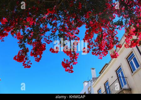 Large and colorful flowers hanging from balconies in the streets of Lisbon - Stock Photo
