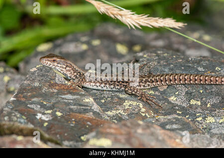 close-up view of a Iberian wall lizard (Podarcis hispanica) on top of a rock, Andorra - Stock Photo