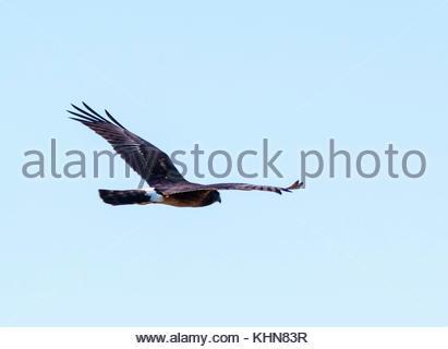 Northern Harrier, Circus cyaneus, female, flying away showing white band on tail, Arizona USA - Stock Photo