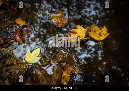 Autumn leaves in warm colors floating in a puddle with forest reflections in the water - Stock Photo