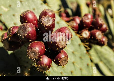 Prickly pears growing in the cactus - Stock Photo