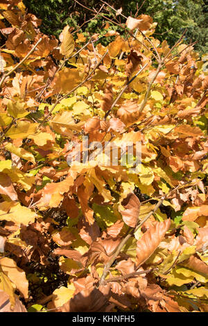The autumnal golden shades of the deciduous beech hedge. - Stock Photo