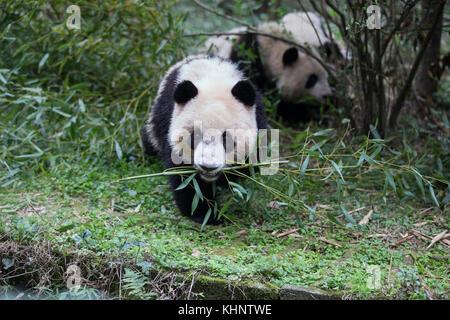 Giant Panda (Ailuropoda melanoleuca) sub-adult feeding on bamboo, Chengdu, China