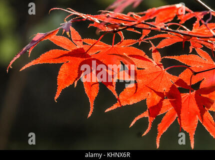 Japanese fan maple (acer sp.) against the setting autumn sun, strong colour and light effects - Stock Photo