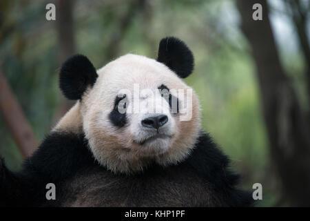 Giant Panda (Ailuropoda melanoleuca) female, Chengdu, China