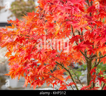 Fading glory, as autumn turns to winter, the leaves of acer palmatum osakazuki begin to curl at the edges. - Stock Photo
