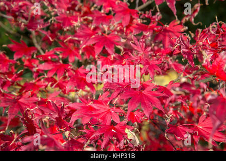 Fading glory, as autumn turns to winter, the leaves of acer palmatum bloodgood begin to curl at the edges. - Stock Photo