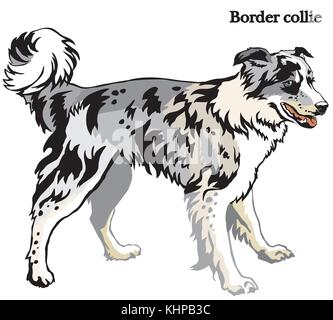 Portrait of standing in profile dog Border collie (blue merle color), vector colorful illustration isolated on white - Stock Photo