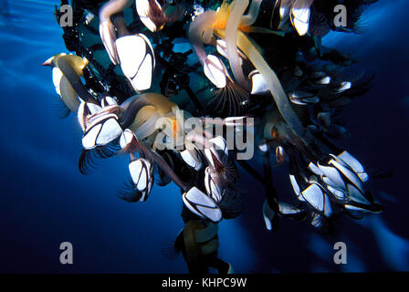 Gooseneck barnacles attached to a float - Stock Photo