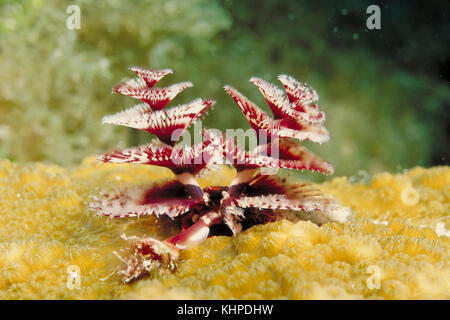 Christmas Tree Worm, Spirobranchus giganteus - Stock Photo