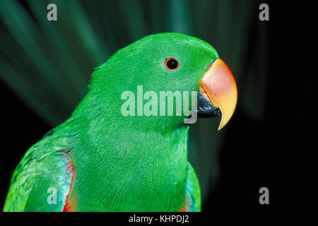 Eclectus Parrot, Eclectus roratus, male - Stock Photo