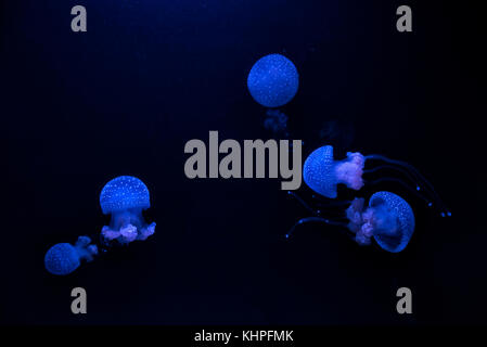 Group of blue jellyfish Phyllorhiza punctata (floating bell, Australian spotted jellyfish or white-spotted jellyfish) - Stock Photo