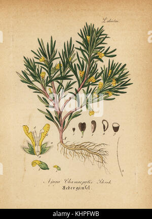 Yellow bugle or ground-pine, Ajuga chamaepitys (Ajuga chamaepytis). Handcoloured copperplate engraving from Dr. - Stock Photo