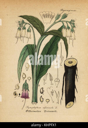 True comfrey, Symphytum officinale. Handcoloured copperplate engraving from Dr. Willibald Artus' Hand-Atlas sammtlicher - Stock Photo