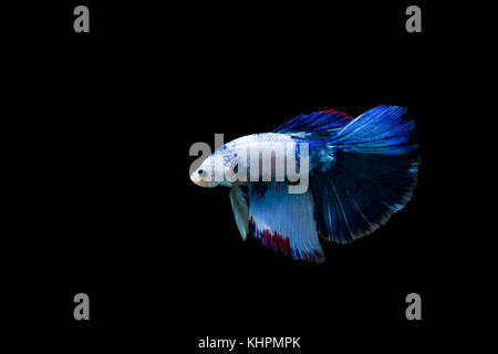 Betta splendens halfmoon,Colorful siamese fighting fish,Fighting fish on black background, - Stock Photo