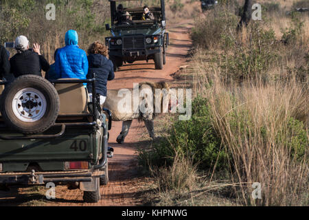 Lion (Panthera leo) next to Safari Vehicle, Welgevonden Private Game Reserve, Waterberge, Limpopo, South Africa - Stock Photo