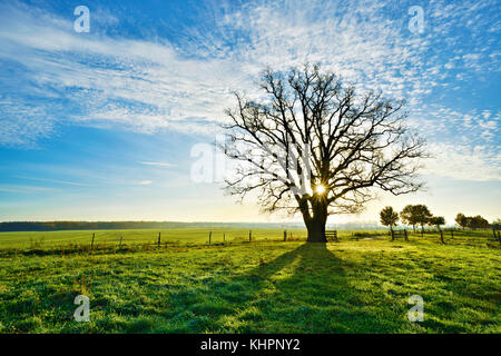 Sun shines through large bare oak, morning light, Magdeburger Börde, Saxony-Anhalt, Germany - Stock Photo