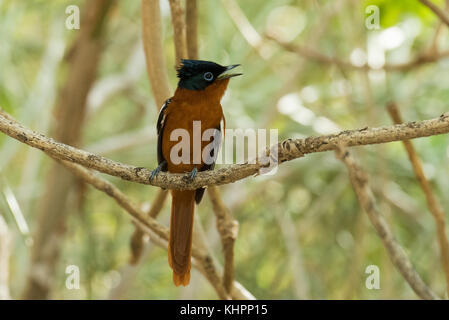 Madagascar Paradise Flycatcher (Terpsiphone mutata) sits on a branch, Arboretum d' Andtsokay, Madagascar - Stock Photo