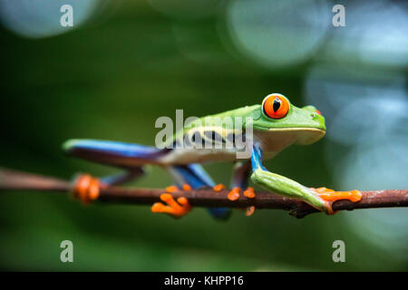 Red eyed tree frog, Agalychnis callidrias curious treefrog in rainforest Costa Rica, Central America. - Stock Photo