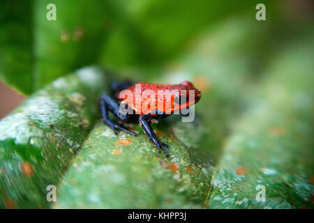 Strawberry poison-arrrow frog, red-and-blue poison-arrow frog, flaming poison-arrow frog, Blue Jeans Poison Dart - Stock Photo