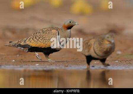 Two Black-bellied Sandgrouse (Pterocles orientalis) sitting next to the desert pool to quench thirst. - Stock Photo