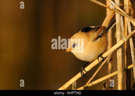 Young Bearded Reedling (Panurus biarmicus) captured close-up perched on a stalk of the reed enlightened by morning - Stock Photo