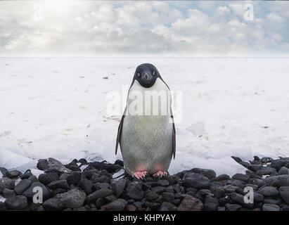A close up view of a cute adelie penguin facing the camera, standing on a pebble beach on the Antarctic peninsula. - Stock Photo