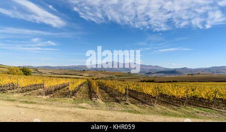 vineyard in autumn near Montalcino, Siena province, tuscany, Italy