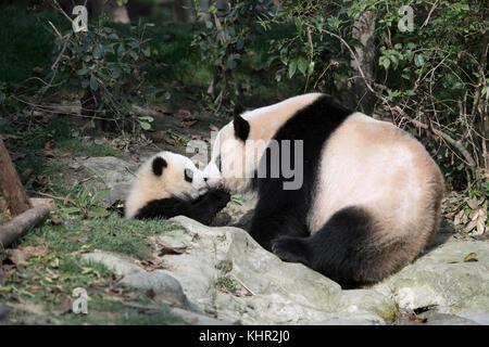 Giant Panda (Ailuropoda melanoleuca) mother and cub nuzzling, Wolong Nature Reserve, Sichuan, China
