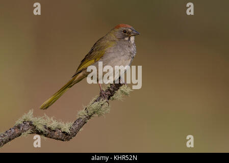 Green-tailed Towhee (Pipilo chlorurus), New Mexico Stock Photo