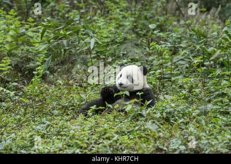Giant Panda (Ailuropoda melanoleuca) sub-adult, Wolong Nature Reserve, Sichuan, China