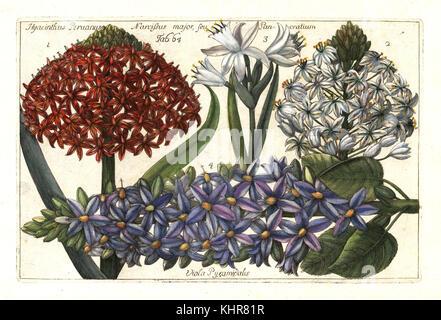 Portuguese squill, Scilla peruviana 1,2, sea daffodil, Pancratium maritimum 3 and pyramidal bugle, Ajuga pyramidalis - Stock Photo