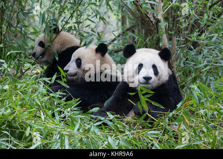 Giant Panda (Ailuropoda melanoleuca) sub-adult in bamboo, Chengdu, China