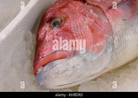 Close-Up Of Freshly Caught Red Snapper Or Lutjanus Campechanus With Sharp Teeth On Ice For Sale In The Greek Fish - Stock Photo