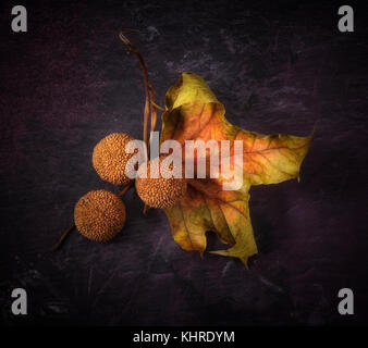 Autumn still life with a Platanus (Plane) leaf and three seedpods - Stock Photo