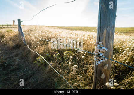 Bunch of snails stuck on a post close to beach in France - Stock Photo