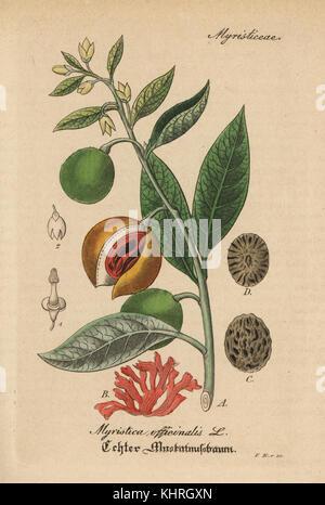 Mace and nutmeg, Myristica fragrans  Handcoloured lithograph