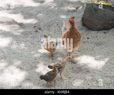Mother hen and her babies roaming free on sandy ground on Dravuni Island, Fiji