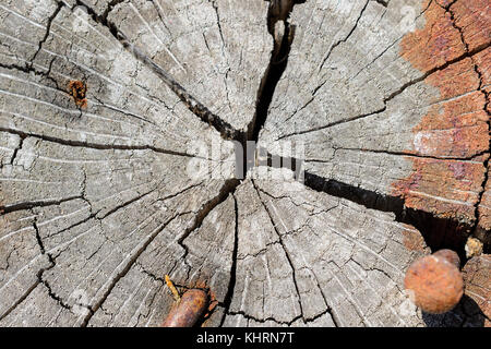 Close-Up Of Growth Rings And Radial Splits On The End Of A Log With Rusty Nails - Stock Photo