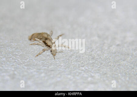Head louse. Ectoparasite sucking human blood. Head lice. - Stock Photo
