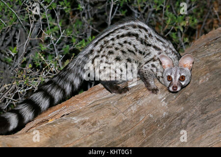 Large-spotted genet (Genetta tigrina) in natural habitat, South Africa - Stock Photo