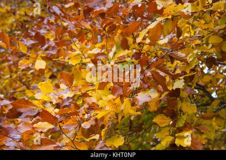 Autumn Beech trees (Fagus sylvatica) - Stock Photo