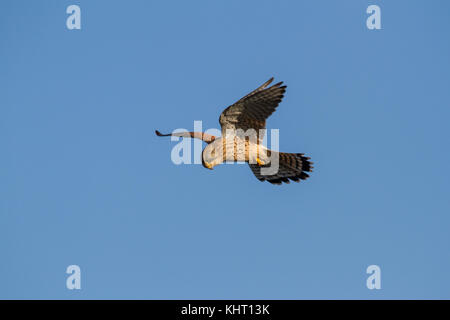 A female Common Kestrel (Falco tinnunculus) also known as just Kestrel hovering in search of prey. - Stock Photo