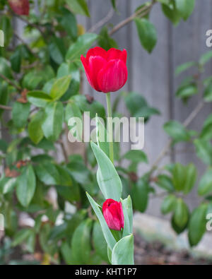 Stunning red tulips bursting out in bloom in early spring against a green bushy background in Canberra Australia - Stock Photo