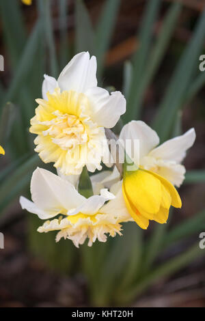 Bunch of white and yellow daffodils bursting out on bloom during a sunny spring day in Canberra, Australia - Stock Photo